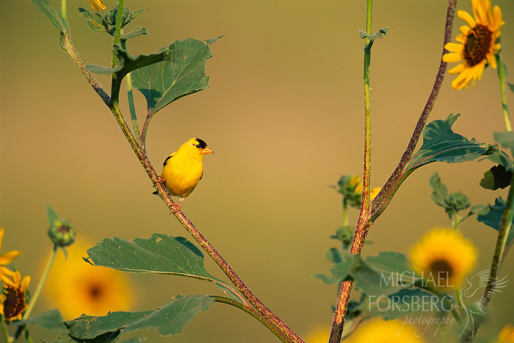 American Goldfinch perched on a sunflower.  Wind Cave National Park, South Dakota