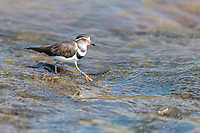 Three-banded plover, Marataba Private Game Reserve, Limpopo, South Africa
