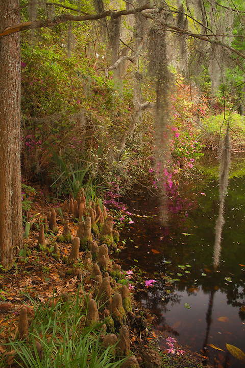 Magnolia Gardens, Charleston South Carolina, Spanish moss and knees of trees, landscape and water