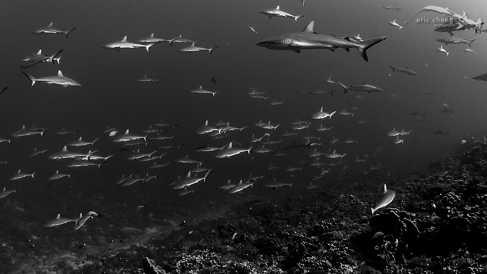 Schooling gray reef sharks (Carcharhinus amblyrhynchos) at Fakarava's south pass (Tomakohua) in French Polynesia. This is likely the best pass in the world to see aggregating reef sharks. Frame grab from raw 2K CinemaDNG video.