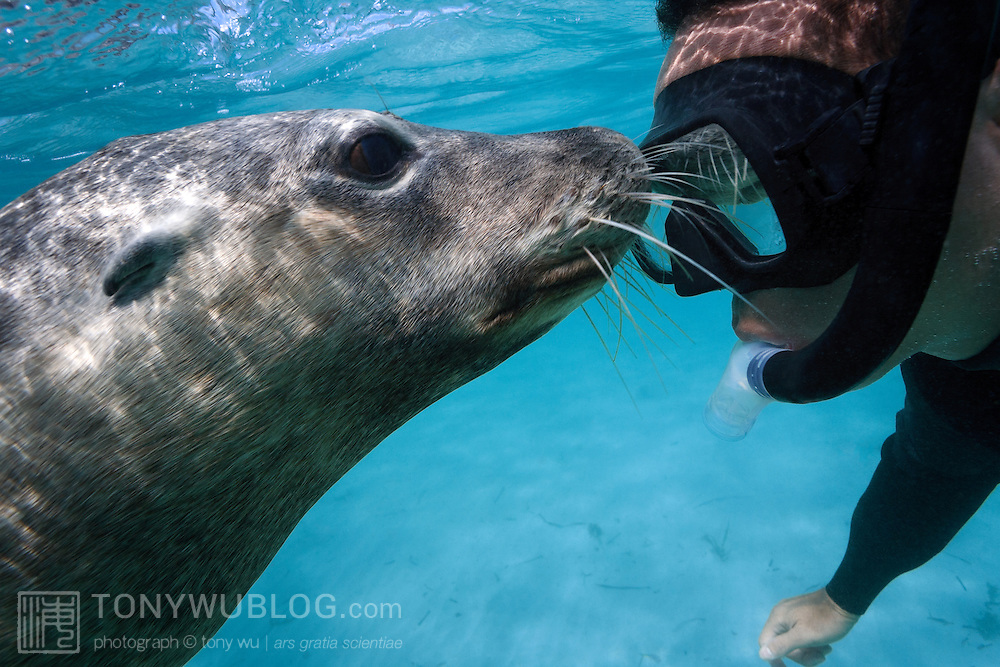 Self portrait with a friendly Australian sea lion (Neophoca cinerea)