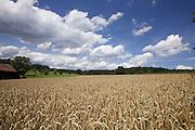 Wheat field in Baden-Württemberg.