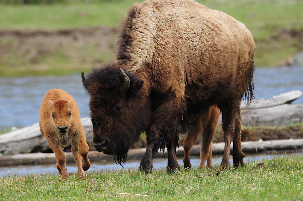 During late spring, bison move from their calving grounds outside Yellowstone to the interior of the Park. This migration includes many river crossings for bison herds, including a crossing of the Madison River for this bison cow and two calves.