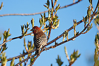 I spent a lot of time this weekend watching the birds in my backyard and in my neighbourhood.  I was really amazed at the variety of birds that pass through every day, and excited to see several of these Finches regularly.  I love to listen to their beautiful song as well!..©2009, Sean Phillips.http://www.Sean-Phillips.com
