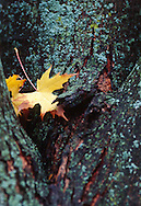 Silver Maple Leaves resting in crook of Lichen covered Trunk
