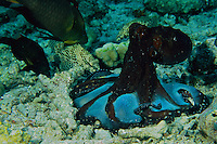 An octopus (Octopus cyannea) hunts by making a tent with its legs and skin membranes over reef rubble.  Various fish species wait to capture prey trying to escape the octopus.  It is believed that by changing the color of the skin between its legs to white, the octopus tricks creatures into trying to escape from beneath rubble.