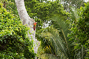 A pair of endangered Scarlet Macaws ( Ara macao cyanoptera ) keep watch from their nesting tree near the Raspacullo river, Belize. A subspecies of the Scarlet Macaws in South America (Ara macao macao), there are an estimated 150-200 wild Scarlet Macaws in Belize. In 2003 the controversial Chalillo hydro-electric dam was built, resulting in the flooding of the only known area in Belize where Scarlet Macaws nest. Formed in 2012, the volunteer run and funded Scarlet Six Biomonitoring Team, a small team of community rangers, was formed out of a dire need to help protect the macaw chicks from heavy Guatemalan poaching.  In 2011, almost 90% of the active nests in the area were poached by Guatemalans, this number is now down to 30% due to their regular patroling of the nest sites along the rivers, via boat and on foot, and their very visible presence.