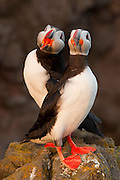Two Atlantic puffins (Fratercula arctica) share a rocky bluff in Látrabjarg, Iceland. Látrabjarg is Europe's largest bird cliff: 8 miles (14 km) long and 1,444 feet (440 meters) high.