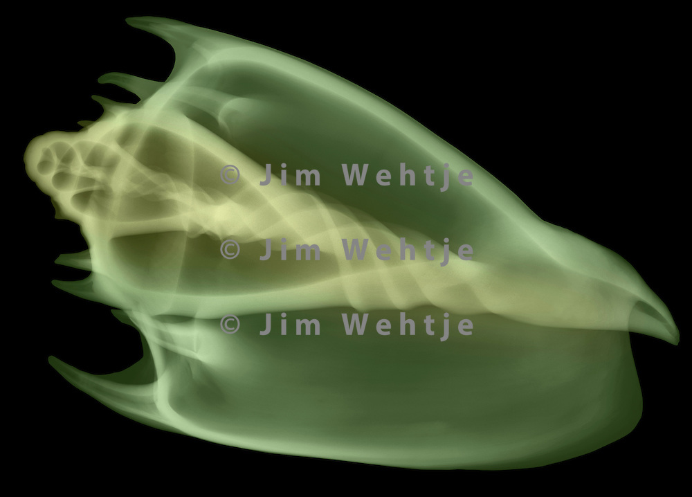 X-ray image of an imperial volute seashell (color on black) by Jim Wehtje, specialist in x-ray art and design images.