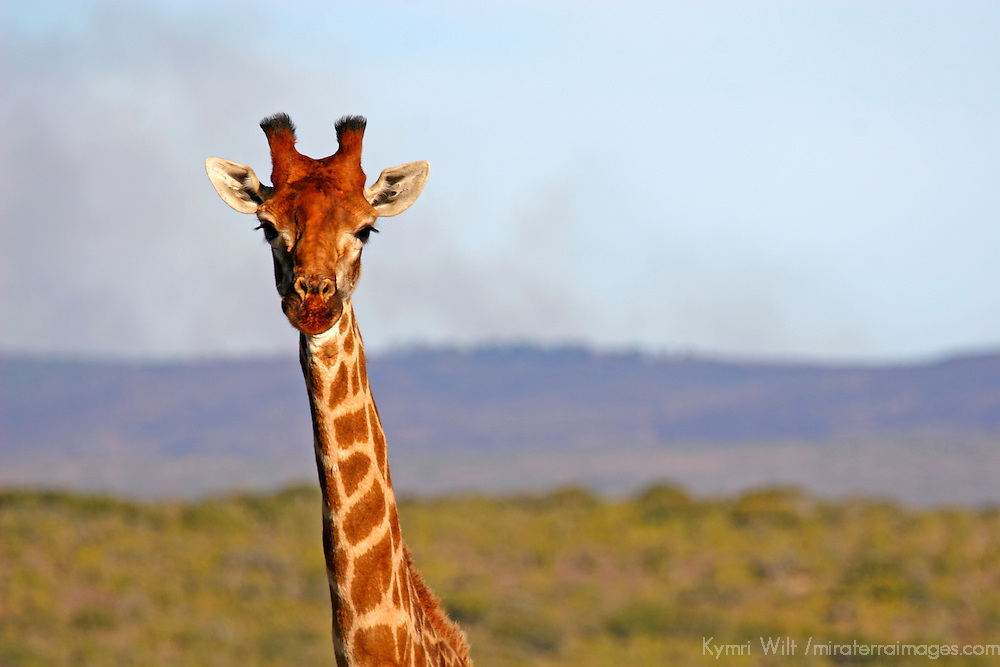 Africa, South Africa, Kwandwe. Maasai Giraffe in Kwandwe Game Reserve.