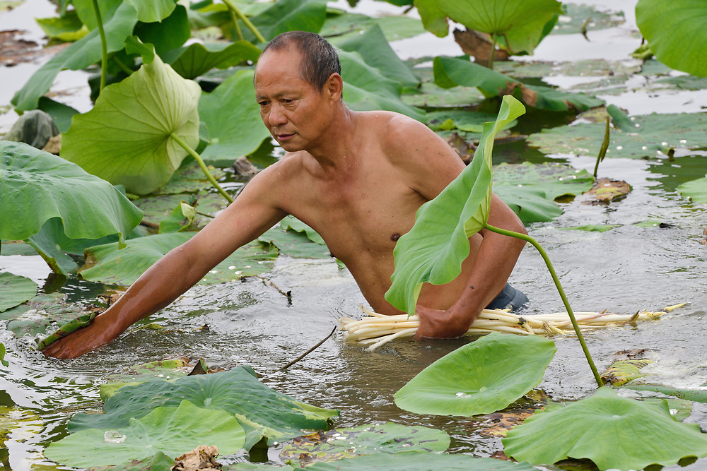 Local man collecting Indian, or Sacred Lotus flower stalks to eat, Nelumbo nucifera, East Lake Greenway park, Wuhan, Hubei, China