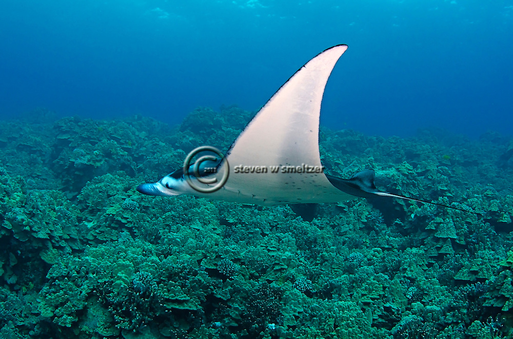 Creatures of the Coral Reef - Manta Rays, Silent Sentinels of the ...