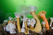 A group of plumose anemones (Metridium senile) feeding on a moon jellyfish (Aurilia aurita), which they have captured. Loch Long, Argyll and Bute, Scotland, British Isles.