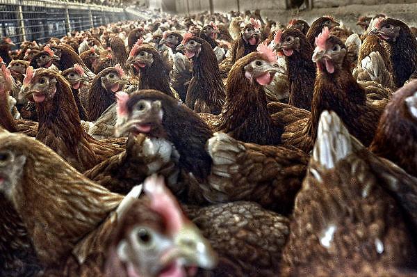 Nederland, Homoet, 21-4-2014 Kippenfarm voor leghennen houdt open dag vanwege Pasen. Er zijn vrije uitloop kippen en scharrelkippen. Op de foto scharrelkippen.Foto: Flip Franssen/Hollandse Hoogte