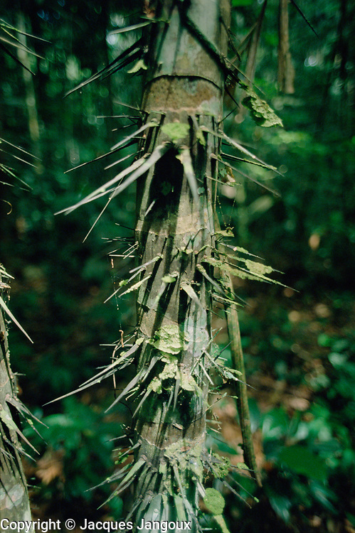 Thorny trunk of Astrocaryum munbaca palm in Tropical Rain Forest, Para, Brazil