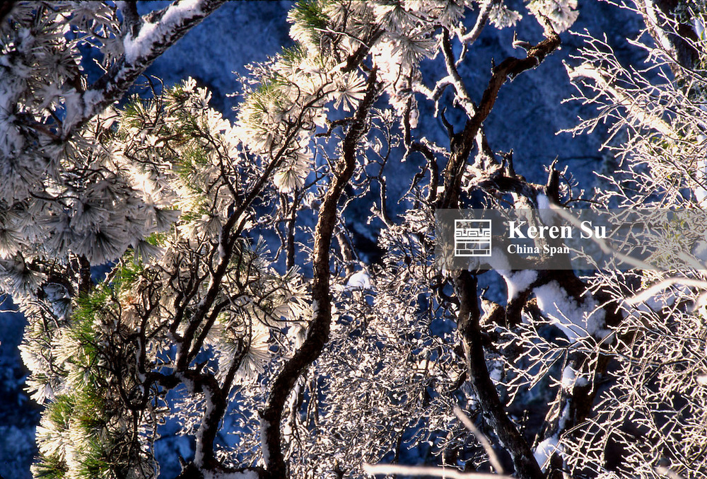 Pine trees covered with snow, Mt. Huangshan (Yellow Mountain), Anhui Province, China
