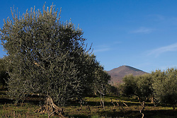 Barile, Basilicata, Italy - Olive grove in the area of the Vulture.