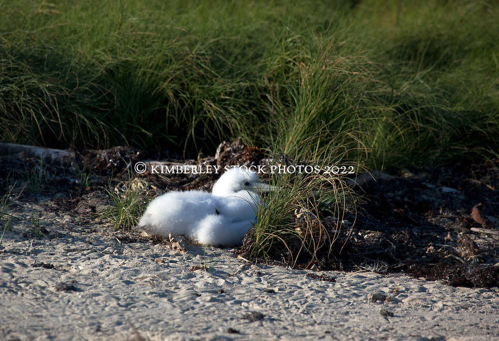 A Masked Booby chick huddles next to a clump of grass on Adele  Island, the most remote island on the Kimberley coast.