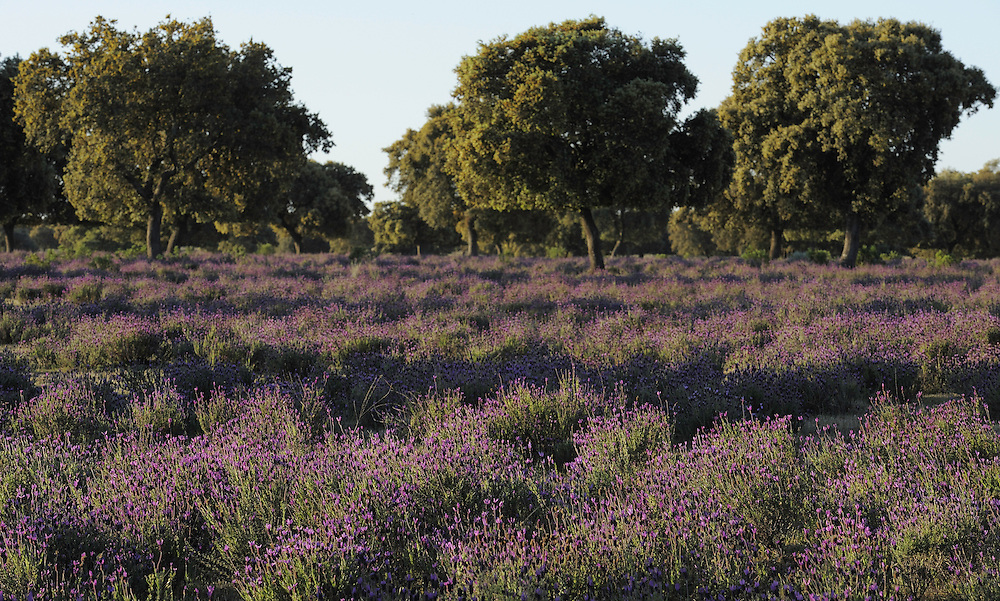Holm oak (Quercus ilex rotundifolia) and French or Spanish lavender (Lavandula stoechas), Dehesa landscape, Monfrague National Park, Extremadura, Spain.