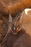 Caracal (Caracal caracal), also known as Desert Lynx, is a wild cat that is distributed across Africa, central Asia and southwest Asia into India. Photographed in Israel