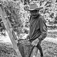 A migrant worker picks olives on a farm outside Porterville in Tulare County in California's Central Valley, CA, Monday, Oct. 10, 2016. One of the worst droughts in California history officially ended this spring in all of the state's counties except Fresno, Kings, Tulare and Tuolumne. <br />