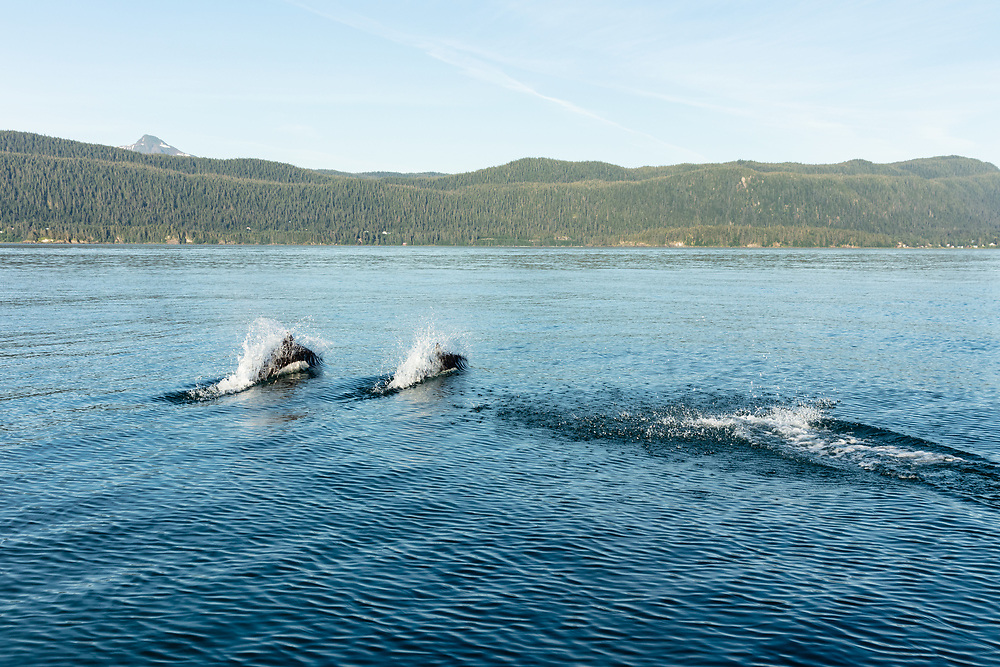 Dall's Porpoises (Phocoenoides dalli) surfacing in Favorite Channel in Southeast Alaska. Summer. Evening.