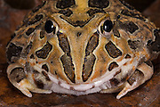 Pacific horned frog (Ceratophrys stolzmanni) <br /> CAPTIVE<br /> South west ECUADOR. South America<br /> RANGE: Ecuador, Peru<br /> 0-100m<br /> Vulnerable