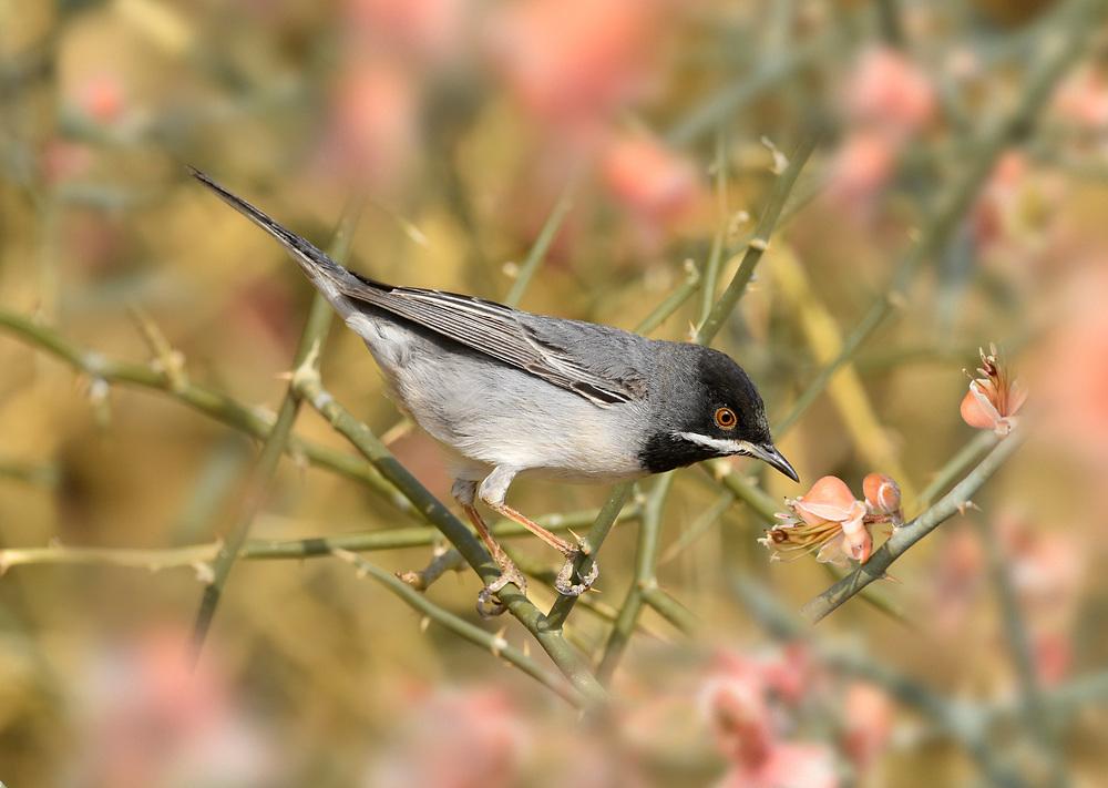 Ruppell's Warbler - Sylvia rueppelli