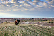 Bison (Buffalo) on Western Landscape