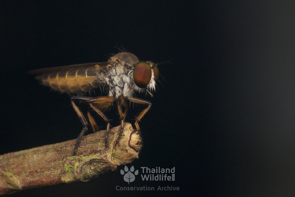 The Asilidae are the robber fly family, also called assassin flies.