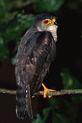 Tina Hawk<br />Accipiter superciliosus<br />Amazon Rain Forest, ECUADOR  South America<br />RANGE; Nicaragua Colombia, Ecuador, East Andes to NE Argentina and Brazil