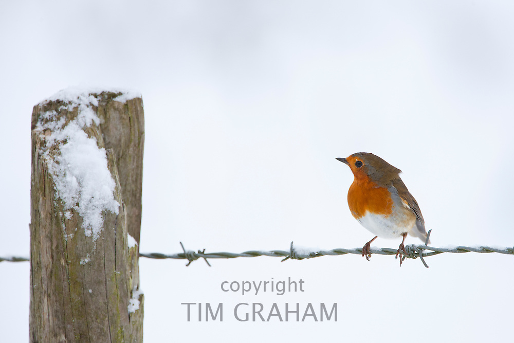 Robin in traditional winter scene by snowy bank, The Cotswolds, UK