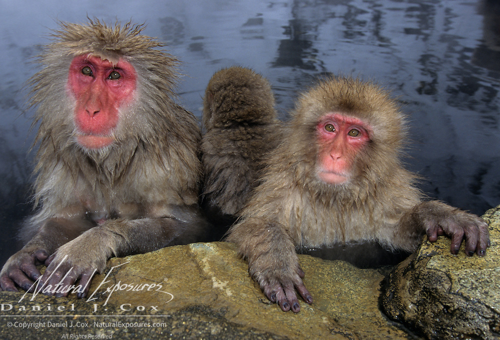 Snow Monkey or Japanese Red-faced Macaque (Macaca fuscata) in Japan.