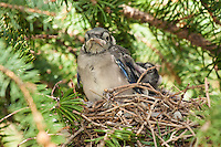 It's amazing how quickly baby birds grow!  It was only a week ago that they were just fresh out of the egg and were a raw pink color.  Now they are completely covered in feathers and stretchign their wings.  It won't be much more than another week before they're trying to fly!<br /> <br /> ©2009, Sean Phillips<br /> http://www.Sean-Phillips.com