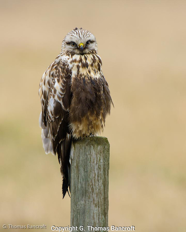 Rough-legged Hawks feed in agricultural areas during winter.