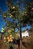 Koosah Farm apple harvest 2018