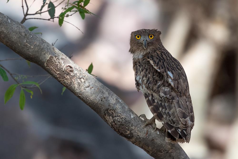Eurasische Adler-Eule im Ranthambore National Park, Indien