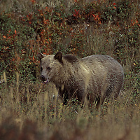 Grizzly bear. Glacier National Park, Montana.