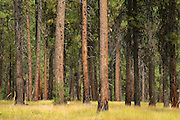 Ponderosa pine trees, Wallowa-Whitman National Forest, Blue Mountains, Oregon.