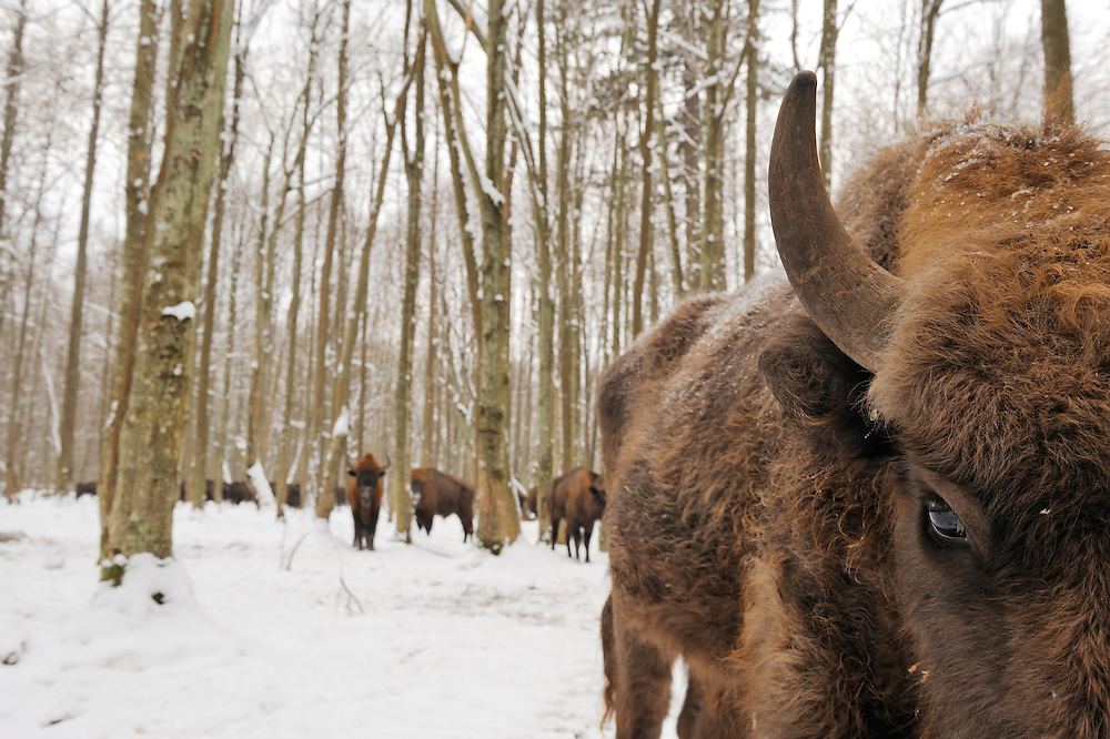 European bison (Bison bonasus) Bialowieza forest National Park, Poland