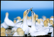 Australasian gannets greet one another by rubbing beaks at Cape Kidnappers colony, largest and most accessible in New Zealand.