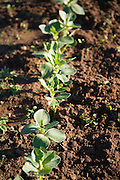 Broad bean plants growing in winter allotment gardens, Shottisham, Suffolk, England
