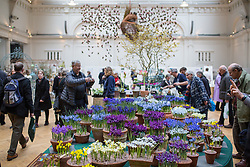 © Licensed to London News Pictures. 14/02/2017. London, UK. Exhibitors showcase their flora at the RHS Early Spring Plant Fair, taking place in Lindley Hall, London. Some exhibitors are previewing designs for Show gardens at this years Chelsea Flower Show. Photo credit : Tom Nicholson/LNP