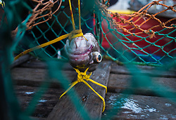 © Licensed to London News Pictures. <br /> 24/04/2015. <br /> <br /> Saltburn, United Kingdom<br /> <br /> Fish heads used as bait for crab and lobster are fastened inside the pots on board the last commercial  fishing boat working out of Saltburn, the Ellen, as the crew prepare to head out to sea.<br /> <br /> <br /> Photo credit : Ian Forsyth/LNP