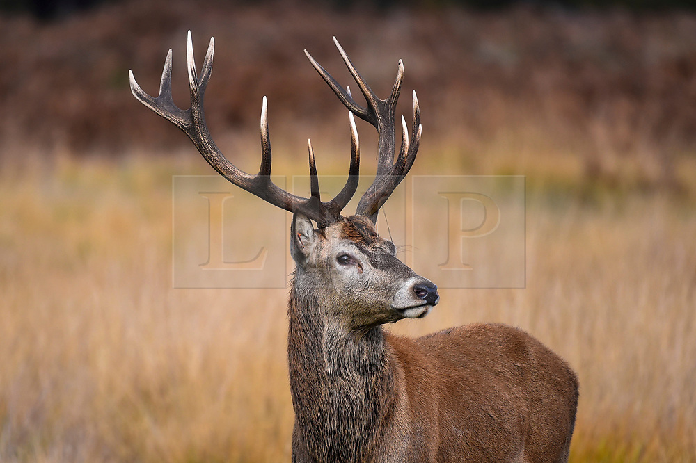 © Licensed to London News Pictures. 09/11/2019. LONDON, UK. A red deer stag in Richmond Park during the annual rut.  The rut occurs during October and November where stags compete for mating rights.  Photo credit: Stephen Chung/LNP