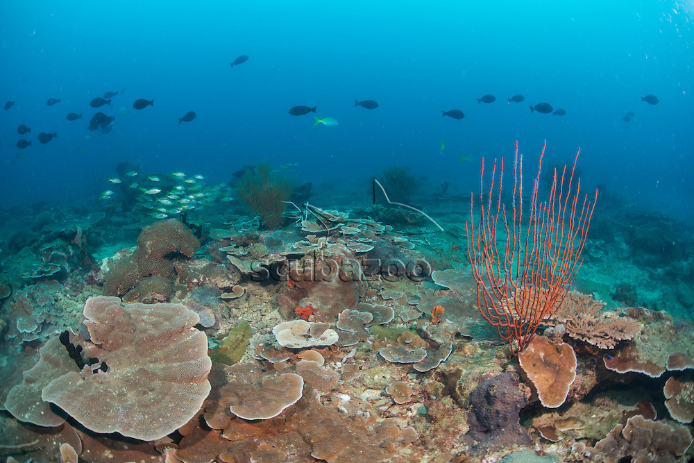 Fish swim over a reef, Miri, Sarawak, Malaysia, Borneo, South China Sea,