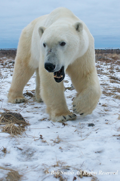 Polar bear on the west coast of Hudson Bay, Manitoba, Canada