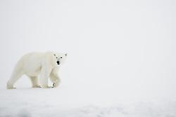 A polar bear (Ursus maritimus) walking in the snow ,Svalbard, Norway