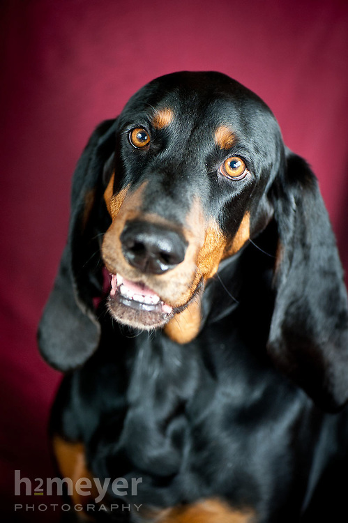 Black & Tan Coonhound - owner Pamala Muller