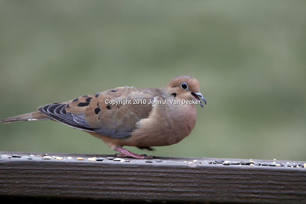 A Mourning Dove, Zenaida macroura, walking on a railing and eating birdseed. New Jersey, USA.
